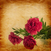 Peonies on  vintage paper — Stock Photo