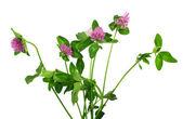 Closeup květ růžový jetel, izolované na bílém — Stock fotografie