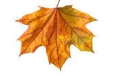 Podzimní javorový list — Stock fotografie