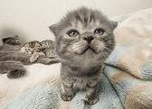 Scottish fold kitten — Stock Photo