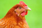 Red Chicken — Stock Photo