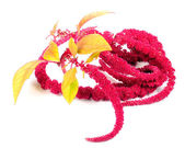 Amaranth (Love-Lies-Bleeding) Flowers — Stock Photo