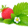 Strawberry with Green Leaves and Flower — Stock Photo