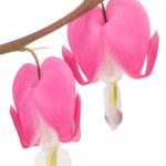 Постер, плакат: Pink Bleeding Heart Lamprocapnos Spectabilis Flowers