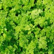 Stock Photo: Green Curly Parsley