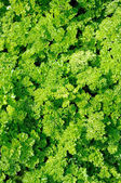 Green Curly Parsley — Stock Photo