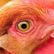 Chicken Eye Close-Up — Stock Photo