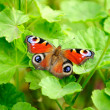 Peacock Butterfly on Green Pelargonium Leaves — Foto de Stock