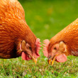 Domestic Chickens Eating Grains and Grass — Stock Photo #13219486