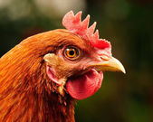 Red Chicken Head Close-Up — Stock Photo
