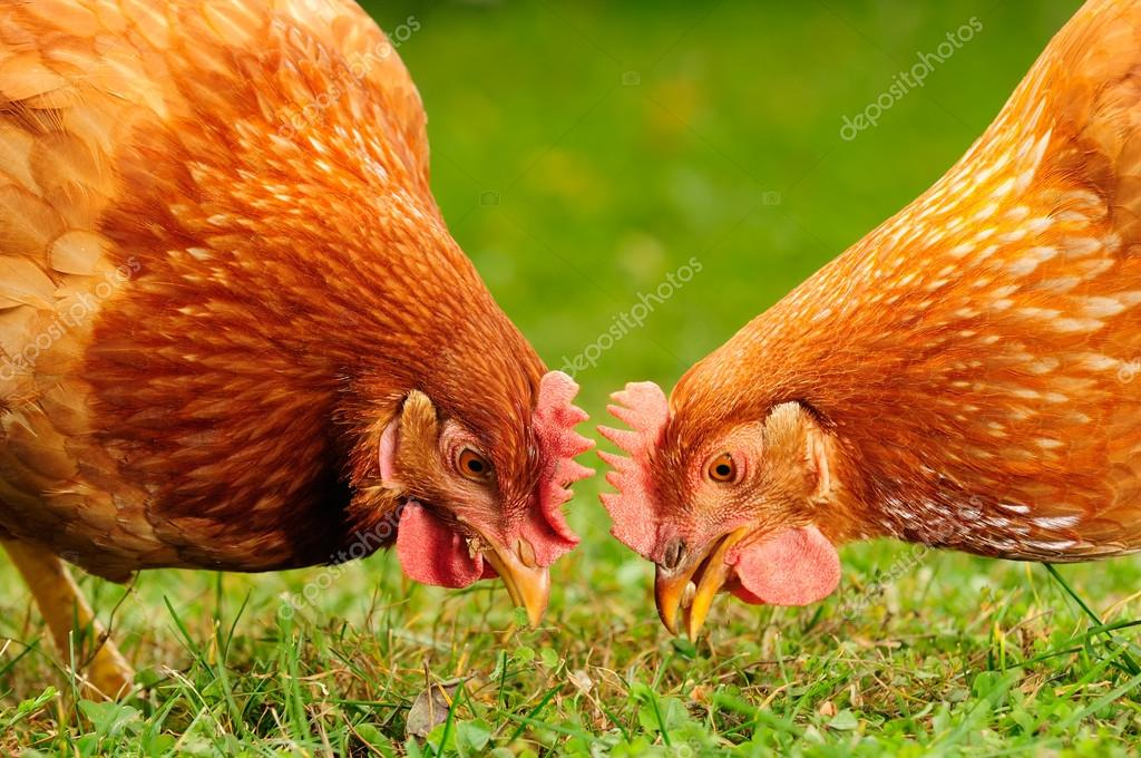 Two red domestic chickens eating wheat grains and grass — Stock Photo #13219486