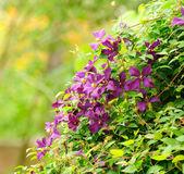 Mooie clematis bush met donkerrood bloemen — Stockfoto