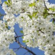 Cherry Tree with White Blossoms in Spring — Stock Photo
