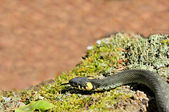 Water Snake (Natrix) Sticking Its Tongue Out — Stock Photo