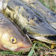 Fisherman's Catch - Pikes and Chub Fish on the Grass - Stock Photo