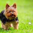 Cute Yorkshire Terrier Dog Playing in the Yard — Zdjęcie stockowe #13699666