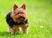 Cute Yorkshire Terrier Dog Playing in the Yard — Stock Photo