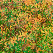 Stock Photo: Yellow, Red, Orange and Green Leaves of Spiraea (Meadowsweet) Shrub