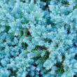Stock Photo: Evergreen Blue Juniper Shrub