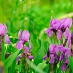 Blue Flag (Iris) Flowers on Flower Bed in Garden — Stock Photo #13751686