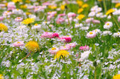 Summer Meadow with Daisy and Dandelion Flowers — Stock Photo