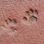 Cat Paw Prints in Concrete — Stock Photo #13768380