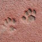 Cat Paw Prints in Concrete — Stock Photo