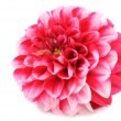 Beautiful Red Dahlia Isolated on White Background — Stock Photo