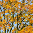 Yellow Maple Tree in Autumn — Stockfoto