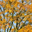 Yellow Maple Tree in Autumn - Stock Photo