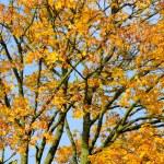 Yellow Maple Tree in Autumn — Stock Photo #13768686