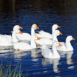 Stock Photo: Gaggle of White Domestic Geese Swimming in Pond