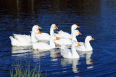 Gaggle of White Domestic Geese Swimming in Pond — Stock Photo
