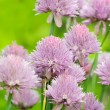 Chive Flowers in Vegetable Garden — Stock Photo