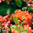 Japanese Quince (Chaenomeles) Flowers on Shrub in Spring — Stok fotoğraf