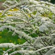 Beautiful Spiraea (Meadowsweet) Shrub with White Flowers — Stok fotoğraf