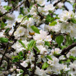 Apple Tree with White Blossoms in Spring — Stock Photo
