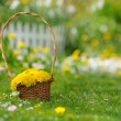 Basket of Yellow Dandelion Flowers on Lawn — Stok fotoğraf