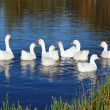 Stock Photo: Gaggle of Domestic Geese Swimming in Pond