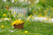Basket of Yellow Dandelion Flowers on Lawn — Stock Photo