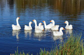 Gaggle of Domestic Geese Swimming in Pond — Stock Photo