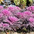 Purple Flowering Kale (Ornamental Cabbage) in the Garden — Stock Photo #14102045