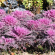 Purple Flowering Kale (Ornamental Cabbage) in the Garden - Stock Photo