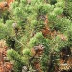 Pine Tree with Cones — Stock Photo