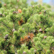 Stock Photo: Bushy Pine Trees with Cones in Forest