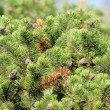 Bushy Pine Trees with Cones in Forest - Stock Photo