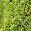 Green Hedge of Thuja Trees — Stock Photo