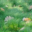 Wet Green Grass with Fallen Oak Leaves — Stock Photo