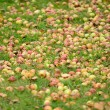 Fallen Apples on the Ground in Autumn — Stock Photo