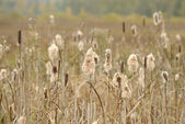 Dry Cattail (Typha Latifolia, Reedmace or Bulrush) Spikes with Fluff — Stock Photo